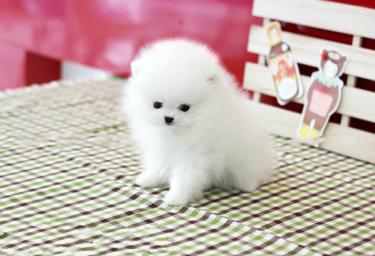 繁殖基地直销博美犬宝宝 保纯种健康 欢迎实地挑选