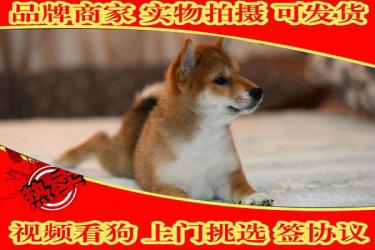 纯种柴犬、柴犬幼犬保证纯种健康 终身质保支持发货