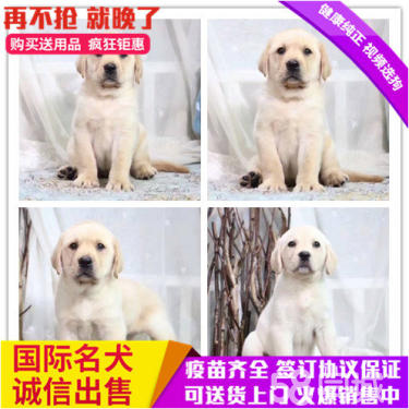 純種出售純種拉布拉多 黑色黃色咖啡色拉多幼犬可挑選
