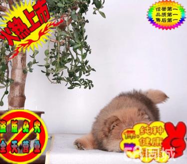 出售纯种大头肉嘴紫舌头松狮犬多种颜色疫苗驱虫已做