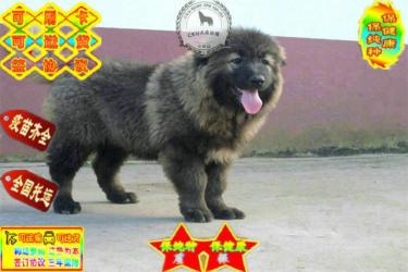 金沙官方平台高品质赛级直系一熊版高加索幼犬购买签协议保
