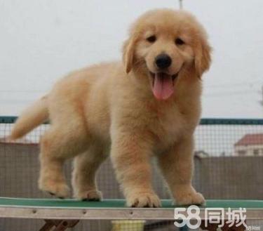 诚信犬业常年繁殖出售优质金毛幼犬,签订健康协议