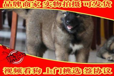 高加索犬幼犬,純俄系 高大威猛純種健康 高加索