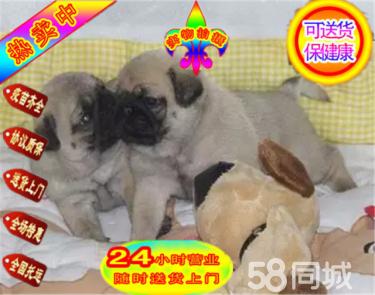 CKU犬舍:極品八哥幼犬,鷹犬,冠軍后代,多窩