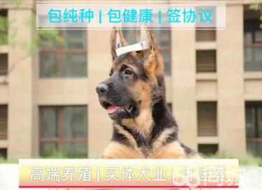 标准赛系德国牧羊犬/顶级种犬/名贵血统