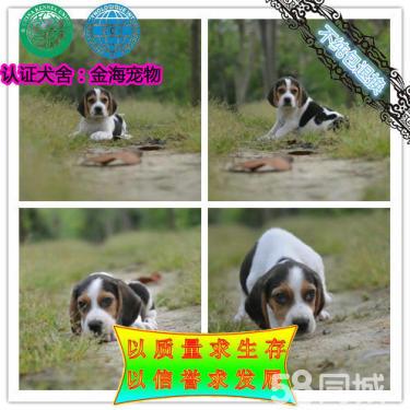 出售純種比格犬 米格魯犬 包健康包純種 可實地挑選