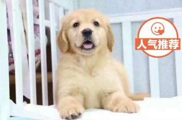 出售纯种金毛幼犬,公母都有,血统纯正,全国包邮