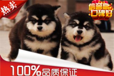 出售高品质阿拉斯加雪橇犬 带证书 可实地挑选