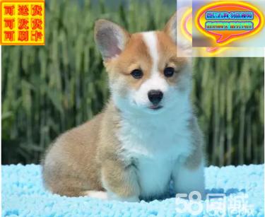 出售纯种柯基犬 两色三色柯基幼犬 健康?#26102;?#21487;签