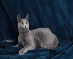 英短蓝猫 开八字蓝白英短 英国短毛猫