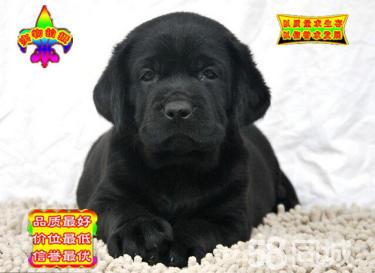 澳门金沙官网纯种拉布拉多 黑色黄色咖啡色拉多幼犬可挑选