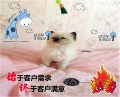 【強勢來襲】CFA高端精品布偶貓幼咪熱賣中