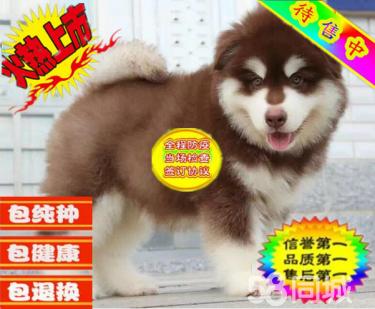 出售纯种阿拉斯加犬,大骨量熊版阿拉斯加犬 签协议