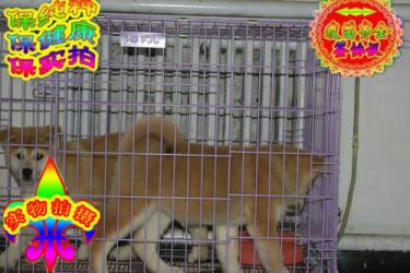 常年出售秋田犬,純正日系秋田犬盡在金質犬業