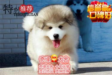 纯种熊版巨型阿拉斯加幼犬 体型憨厚 健康保障可送货