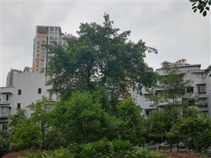可视频柏溪三连跃带花园单价4200电梯产权180急售