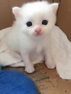 純種家養雙藍眼獅貓