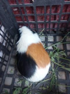 荷兰猪 豚鼠友情价出售