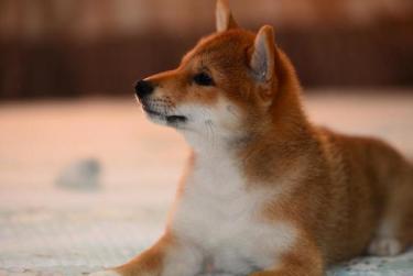 【现代生活不可缺少的萌宝】纯种柴犬、身份的象征