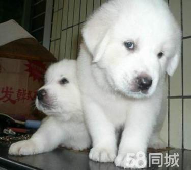 .極品大白熊幼犬,體形均稱、品質超好、質量終身保證