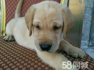 导盲犬拉布拉多火爆出售纯种拉布拉多犬