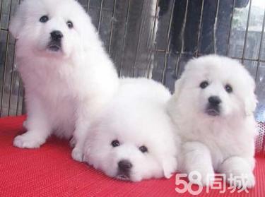 纯种大白熊犬温顺大型伴侣犬 防疫驱虫已做 放心饲养