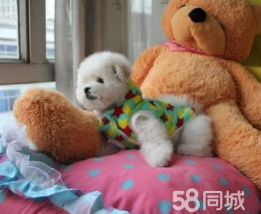 纯种比熊幼犬 品相完美 清纯可爱 健康活泼
