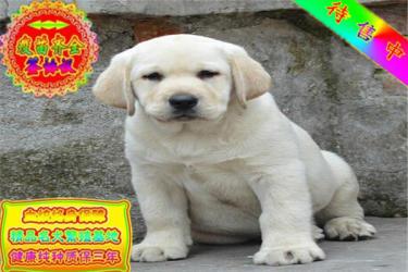 纯种拉布拉多犬幼犬活体 嘴宽骨量毛量大 宠物狗狗