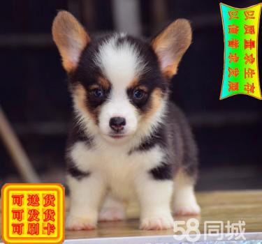 高品�|小短腿大�臀��N柯基幼犬出售可送� 保健康
