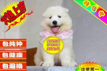 澳版熊版微笑天使萨摩耶幼犬 大骨量毛量 乖?#23665;?#24247;