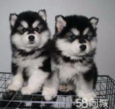 诚信犬业常年繁殖出售优质阿拉斯加幼犬,签订健康协议