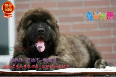 护主能力超强高加索幼犬出售 世界上体形最大的猛犬