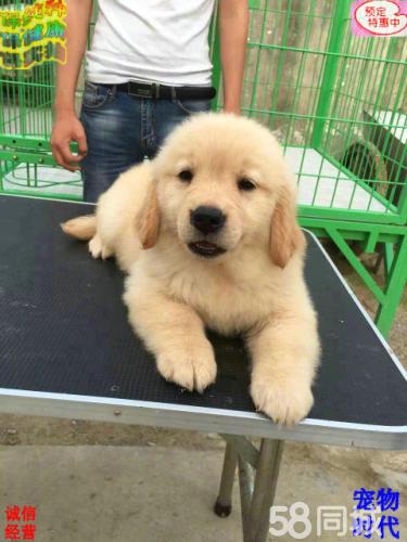高品質雙血 金毛幼犬,大骨量,隨時可以看狗可送貨
