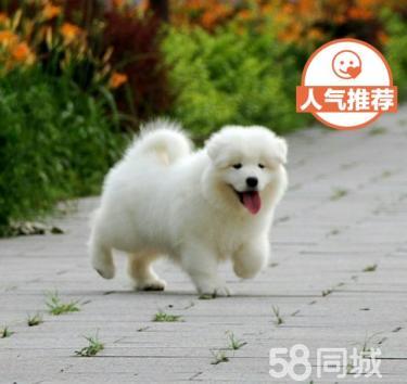 微笑天使萨摩耶幼犬澳版萨摩熊版雪橇犬【协议质?!? width=