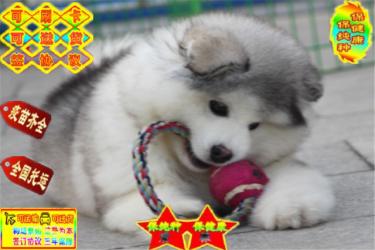 出售大骨量巨型熊版阿拉斯加幼犬、帶證書、包純種
