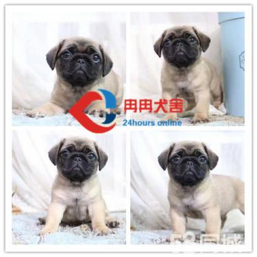 纯?#32844;?#21733;犬 带血统出售 终身质保 质量三包 签协议