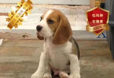 比格幼犬出售包純種健康 喜歡的朋友可上門看狗