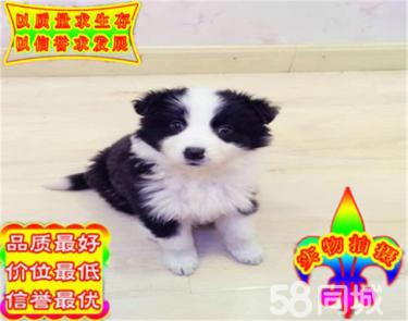 專業繁殖純種七白三通雙血統賽級邊牧幼犬高品質QAQ