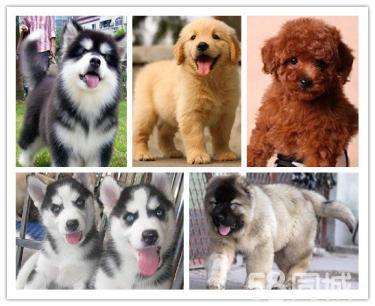 本地最大狗�鲋变N各�N幼犬一包健康可送�一�活�w�f�h