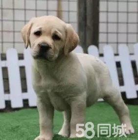 帥氣忠誠的拉布拉多犬健康調皮大眾的最愛寶寶