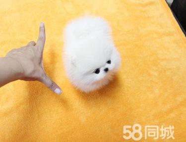 純種哈多利球體博美 白色博美 黃色博美 純種博美犬