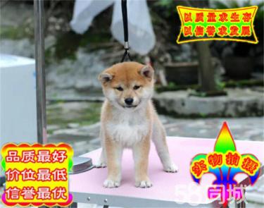 CKU金质犬业专业繁殖赤色双血统柴犬宝宝开放出售
