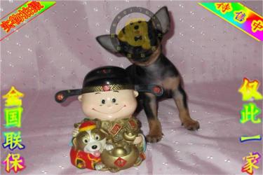 出售純種蘋果頭吉娃娃犬 金魚眼吉娃娃犬健康好純度佳