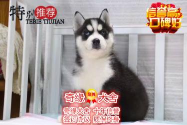 本地正规犬场一出售三火蓝眼哈士奇犬一包养活一签协议