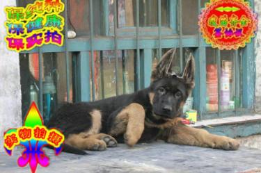 出售纯种高品质德国牧羊犬,送用品,包健康,包纯种