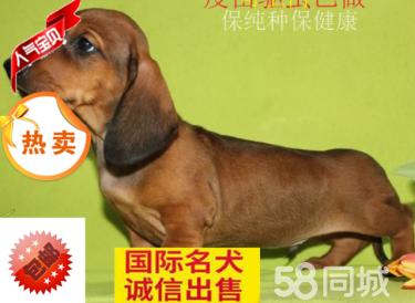 纯种保健康有血统腊肠犬可以送货上门