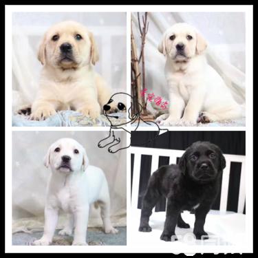 拉布拉多幼犬 纯种健康售后有保障