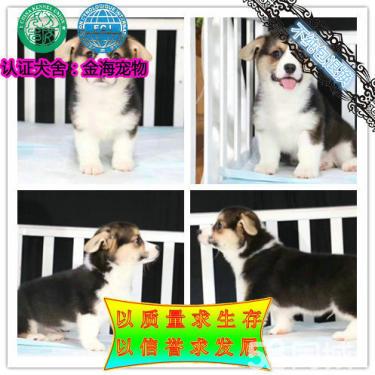 出售纯种《柯基犬》《双色三色柯基犬》保证健康