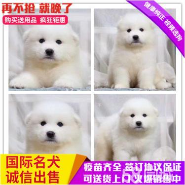 白天使萨摩耶骨量大毛量佳正规犬舍繁殖澳版可送到家