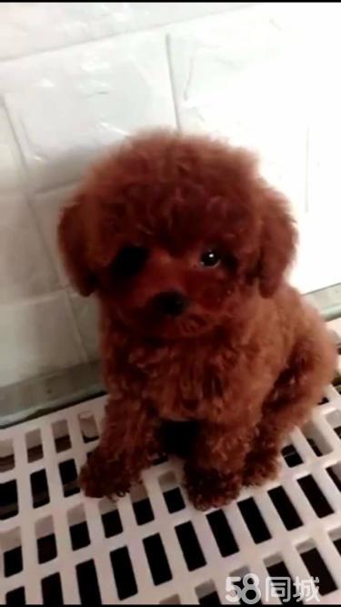 出售純種泰迪熊 韓系精品茶杯泰迪玩具泰迪均有